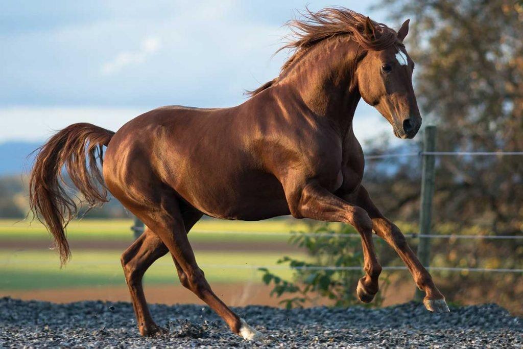 caballo barroco lusitano