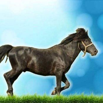 caballo bosnio